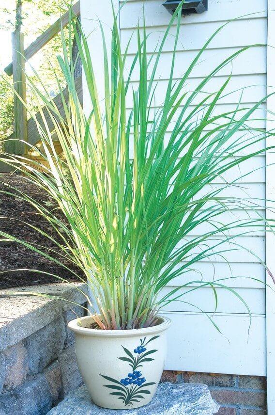 West Indian Lemon Grass | Plants That Repel Snakes