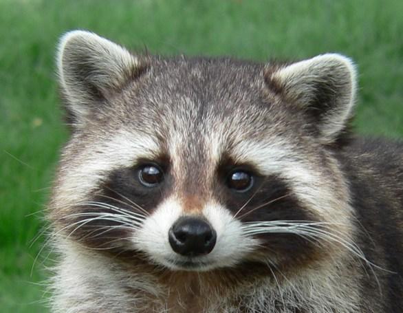 raccoon dream 2